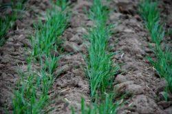 Озимые зерновые культуры: значение и особенности