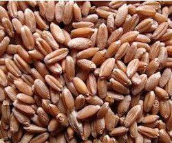 Семена яровой пшеницы