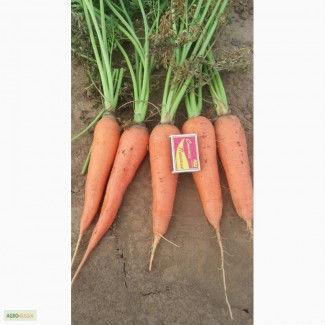 Морковь столовая4