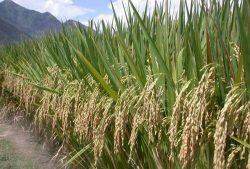 Технология выращивания риса