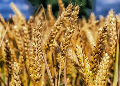 wheat-1506830__3404