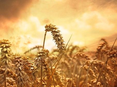 wheat-639779__3404