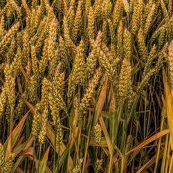 wheat-2478846__340