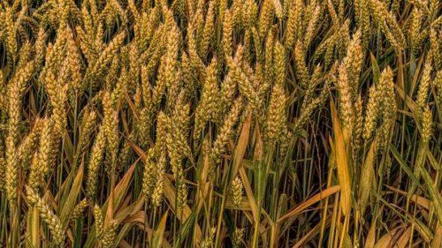 wheat-2478846__3404
