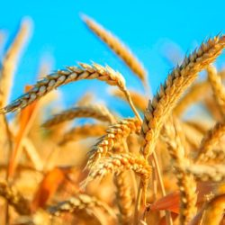 пшеница 5