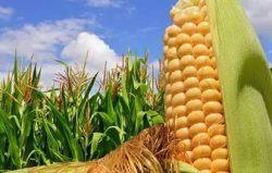 kukuruza-v-pole