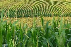 obrabotka-kukuruzy