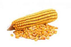 kukuruza-semena