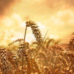 wheat-639779__340