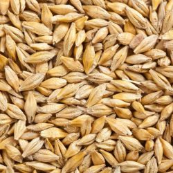 depositphotos_2521176-stock-photo-barley-grain